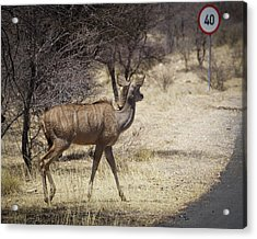 Acrylic Print featuring the photograph Kudu Crossing by Ernie Echols