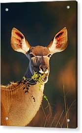 Kudu Portrait Eating Green Leaves Acrylic Print by Johan Swanepoel