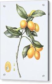 Kumquat Acrylic Print