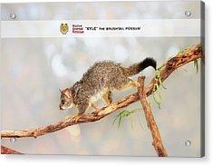 Kyle The Brushtail Possum, Native Animal Rescue Acrylic Print
