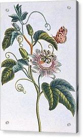 La Grenadille Or Le Maracot   Blue Passion Flower Acrylic Print by Pierre-Joseph Buchoz
