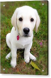Acrylic Print featuring the photograph Lab Puppy by Stephen Anderson
