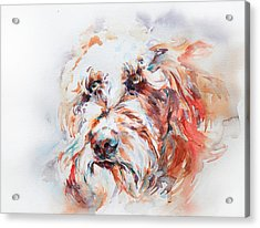Labradoodle Acrylic Print by Stephie Butler