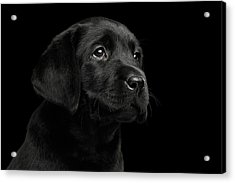 Labrador Retriever Puppy Isolated On Black Background Acrylic Print