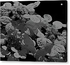 Lace Cap Hydrangea In Black And White Acrylic Print by Smilin Eyes  Treasures