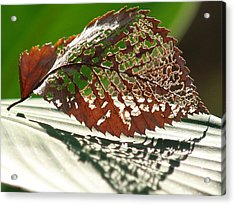 Lacy Leaf Acrylic Print by Kevin Callahan