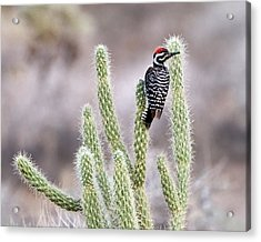 Ladder Backed Woodpecker Resting On Ganders Cholla Acrylic Print by Photo by Patricia Ware