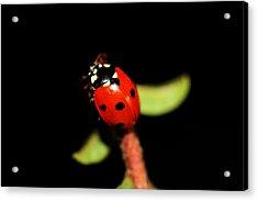 Lady Bug Climb Acrylic Print by Nick Gustafson