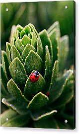 Lady Bug - Detailed Image Of A Red With Black Spots Lady Bug Acrylic Print by Nature  Photographer