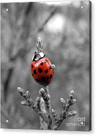 Lady Bug Acrylic Print by Misha Bean