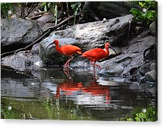 Scarlet Ibis 1 Acrylic Print by Bruce Miller