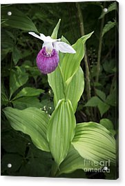 Lady Slipper Flower Acrylic Print by Edward Fielding