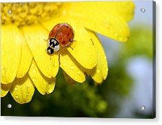Ladybird Beetle A Ladybug Acrylic Print by Laura Mountainspring