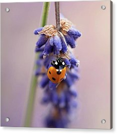 Ladybird On Norfolk Lavender  #norfolk Acrylic Print by John Edwards