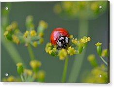 Ladybug In Red Acrylic Print