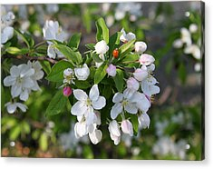 Ladybug On Cherry Blossoms Acrylic Print