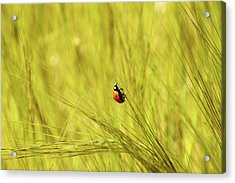 Ladybug In A Wheat Field Acrylic Print