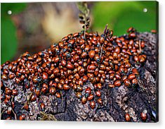 Ladybugs On Branch Acrylic Print
