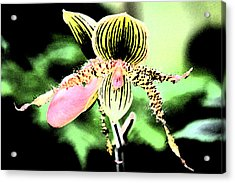 Lady's Slipper Orchid Acrylic Print by Nanette Hert