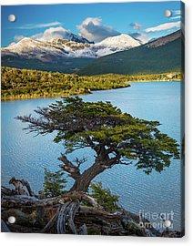 Laguna Capri Tree Acrylic Print