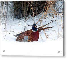 Acrylic Print featuring the photograph Lake Country Pheasant 2 by Will Borden