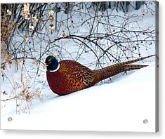 Acrylic Print featuring the photograph Lake Country Pheasant by Will Borden