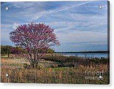 Lake Murray Redbud Tree Acrylic Print by Tamyra Ayles