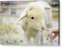 Lamb At Denver Stock Show Acrylic Print