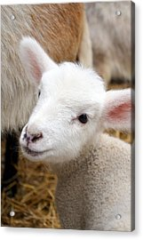 Lamb Acrylic Print by Michelle Calkins