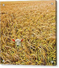 Lamb With Barley Acrylic Print by Meirion Matthias