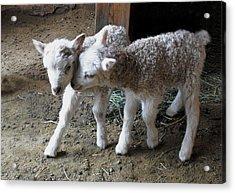 Lambs Acrylic Print by Kae Cheatham