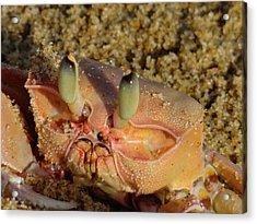 Lamu Island - Crab - Close Up 1 Acrylic Print by Exploramum Exploramum
