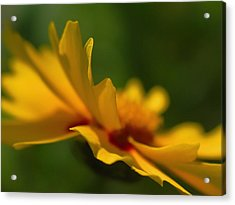 Lance Leaved Coreopsis Acrylic Print by Juergen Roth
