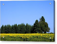 Land Of Sunflowers Acrylic Print by Gary Smith