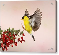 Landing For A Quick Charge At The Currant Bush Acrylic Print by Gerry Sibell