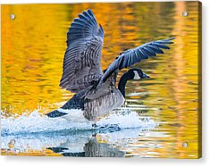 Landing In Fall Colors Acrylic Print by Parker Cunningham