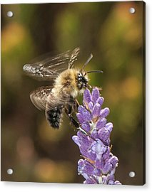 Acrylic Print featuring the photograph Landing On Lavender by Len Romanick