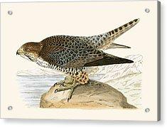 Lanner Falcon Acrylic Print by English School