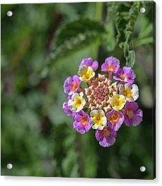 Lantana In Bloom Acrylic Print