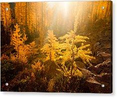 Larch Light Acrylic Print by Thorsten Scheuermann