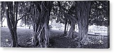 Large Banyan Trees In A Park Acrylic Print by Yali Shi