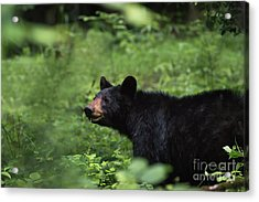 Acrylic Print featuring the photograph Large Black Bear by Andrea Silies