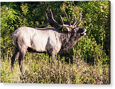 Acrylic Print featuring the photograph Large Bull Elk Bugling by D K Wall