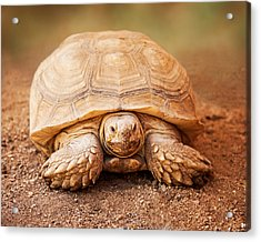 Large Galapagos Tortoise Looking Forward Acrylic Print by Susan Schmitz