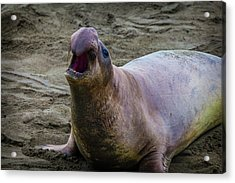 Large Male Elephant Seal Acrylic Print by Garry Gay