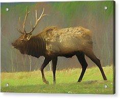 Large Pennsylvania Bull Elk. Acrylic Print