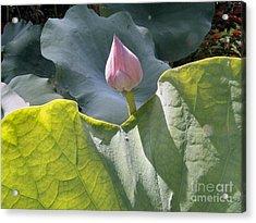 Large Pink Chinese Lotus Bud Acrylic Print by Kathy Daxon