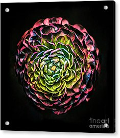 Large Pink Flower Against Black Background Acrylic Print by Amy Cicconi