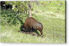 Large Plains Bison Bull Rubbing His Big Head In The Ground Acrylic Print