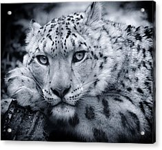 Large Snow Leopard Portrait Acrylic Print by Chris Boulton